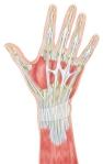 hand-dorsal